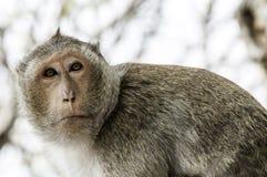Scimmia da solo Fotografie Stock