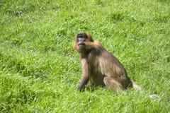 Scimmia del babbuino Immagine Stock