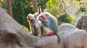 Scimmia del babbuino che raffredda nello zoo Fotografia Stock