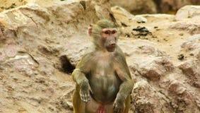 Scimmia del babbuino che raffredda nello zoo Fotografie Stock Libere da Diritti
