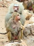 Scimmia del babbuino che raffredda nello zoo Fotografie Stock