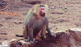 Scimmia del babbuino che raffredda nello zoo Immagini Stock
