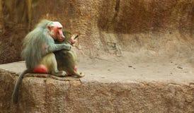 Scimmia del babbuino che raffredda nello zoo Immagini Stock Libere da Diritti
