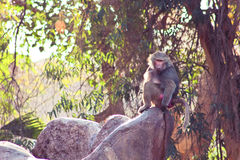 Scimmia del babbuino che raffredda nello zoo Immagine Stock Libera da Diritti