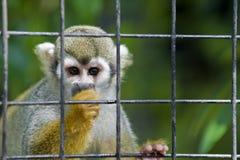 Scimmia del bambino Fotografie Stock