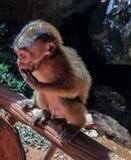 Scimmia del bambino che è federazione di mano immagine stock