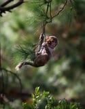 Scimmia del bambino che pende da un ramo di albero Fotografia Stock