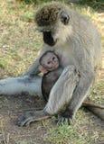Scimmia del bambino con la madre Fotografia Stock Libera da Diritti