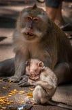 Scimmia del bambino con la mamma - mangiando Fotografia Stock