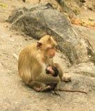 Scimmia del bambino della holding della madre, bere della scimmia Immagine Stock