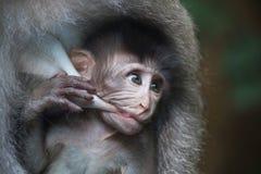 Scimmia del bambino di allattamento al seno della madre Immagini Stock