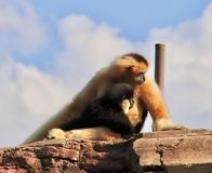 Scimmia del bambino e della madre fotografia stock