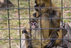 Scimmia del bambino e della madre Fotografie Stock