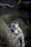 Scimmia del bambino sull'albero Fotografia Stock Libera da Diritti