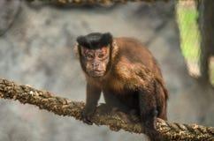 Scimmia del cappuccino. 3 Fotografia Stock