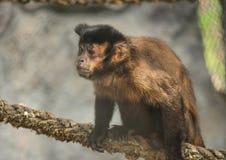 Scimmia del cappuccino. 4 Fotografie Stock
