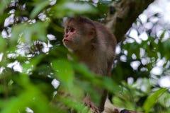 Scimmia del cappuccino fotografie stock