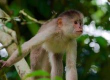 Scimmia del cappuccino immagine stock libera da diritti