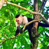 Scimmia del Capuccino Immagini Stock