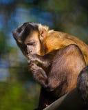 Scimmia del Capuchin Immagine Stock