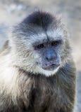 Scimmia del Capuchin Fotografie Stock Libere da Diritti