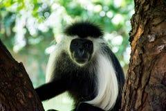 Scimmia del Colobus dell'Angola che appende sull'albero in spiaggia del Kenya Diani immagine stock