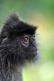 Scimmia del foglio d'argento Fotografie Stock Libere da Diritti