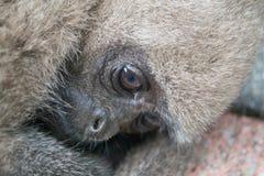 Scimmia 2 del fronte Fotografie Stock