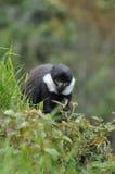 Scimmia del L'Hoest (lhoesti del Cercopithecus) Immagine Stock Libera da Diritti