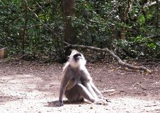 Scimmia del Langur a Monkeyland sull'itinerario del giardino, Sudafrica fotografie stock