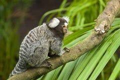 Scimmia del Marmoset su una filiale Immagini Stock Libere da Diritti
