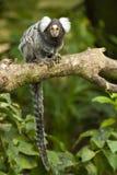 Scimmia del Marmoset su una filiale Immagine Stock Libera da Diritti