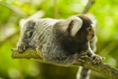 Scimmia del Marmoset su una filiale Fotografie Stock