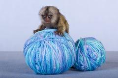 Scimmia del Marmoset sulle sfere di filato Fotografia Stock Libera da Diritti
