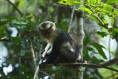 Scimmia del Moaner Fotografia Stock Libera da Diritti