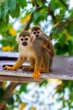 Scimmia del Saimiri con il suo piccolo bambino sveglio. Fotografie Stock