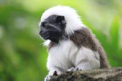 Scimmia del Tamarin Fotografia Stock