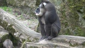 Scimmia del trapano, leucophaeus di mandrillo, riposante nell'area dell'habitat della natura Criticamente animali della specie in video d archivio