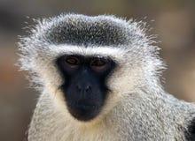 Scimmia del velluto Immagini Stock