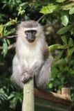 Scimmia del velluto sul recintare Sudafrica Fotografia Stock