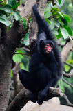 Scimmia nera sull'albero Fotografia Stock