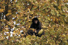 Scimmia dell'albero Fotografia Stock