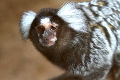 Scimmia dell'uistitì Fotografie Stock