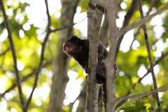 Scimmia dell'uistitì Fotografia Stock