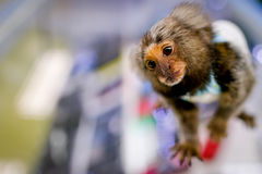 Scimmia dell'uistitì Fotografia Stock Libera da Diritti
