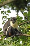 Scimmia della Diana fotografia stock