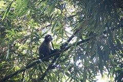 Scimmia della foglia nel parco nazionale di Lawacharra in Srimangal, Bangladesh Immagini Stock