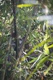 Scimmia della foglia nel parco nazionale di Lawacharra in Srimangal, Bangladesh Immagini Stock Libere da Diritti