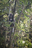 Scimmia della foglia nel parco nazionale di Lawacharra in Srimangal, Bangladesh Immagine Stock Libera da Diritti