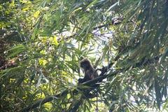 Scimmia della foglia nel parco nazionale di Lawacharra in Srimangal, Bangladesh Fotografia Stock